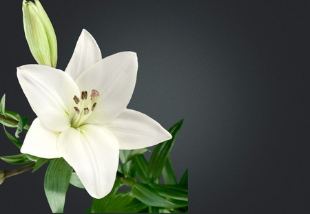 Lily flower on the dark background