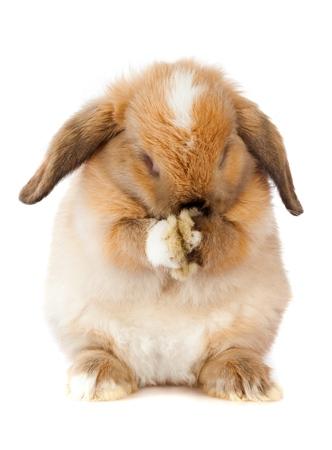 Lop Eared Rabbit hiding its face Reklamní fotografie