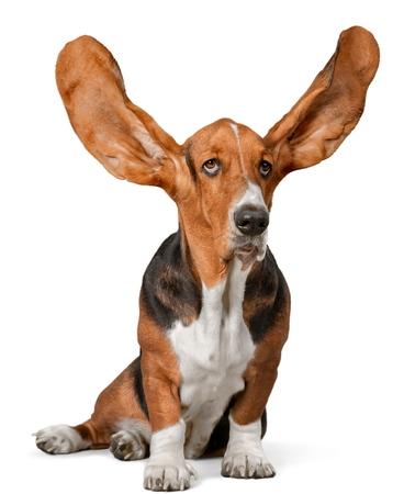 Basset Hound with Ears Up Standard-Bild