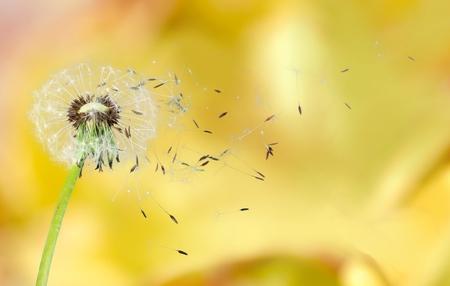 Dandelion seeds in the sun light