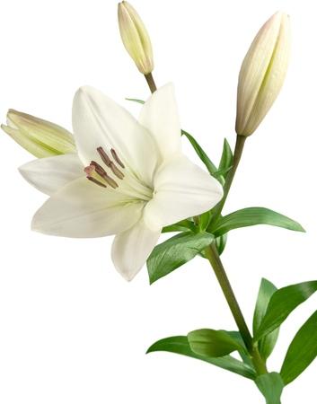 white lily flower Foto de archivo