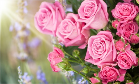 pastel colored roses