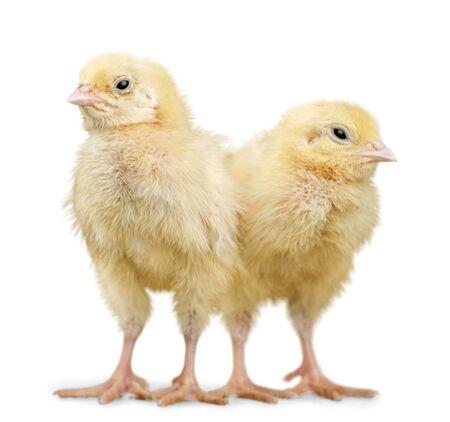 Chicks - Baby Chicken Stock Photo