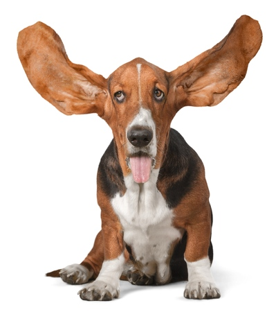Basset Hound with Ears Up 스톡 콘텐츠