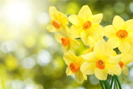 Spring daffodils 写真素材