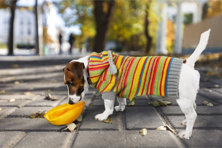 Jack russel terrier studio shot, white background