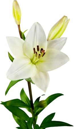 white lily flower 版權商用圖片