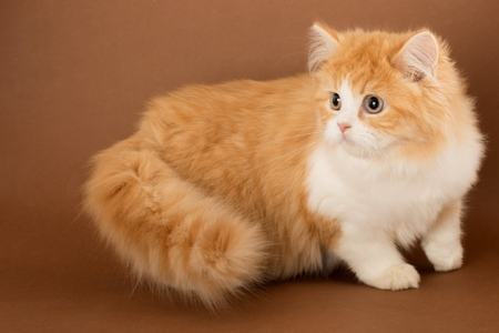 Ginger Cat on the Brown Background
