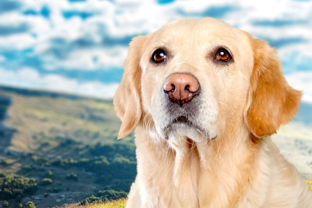 purebred golden retriever dog sitting on isolated  white background Reklamní fotografie