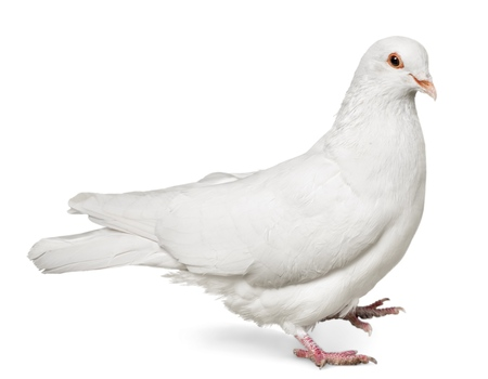 One  white Dove