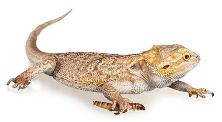 Bearded dragon - isolated image