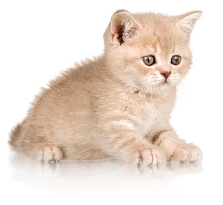 BeigeWhite Kitten - Isolated
