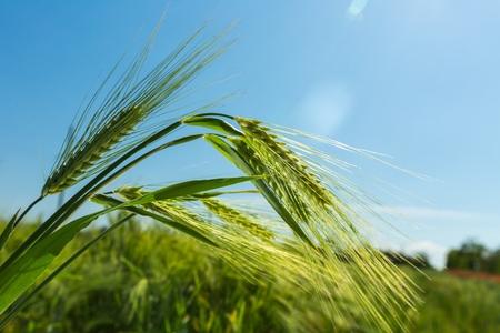 A Green Barley  Wheat Plant Against Green Field