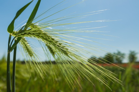 A Green Barley  Wheat Plant Against Green Field