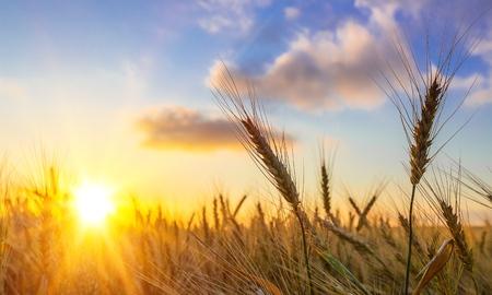 Sun Shining over Golden Barley  Wheat