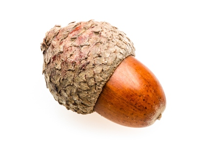 Brown Acorn Isolated on White Stock Photo