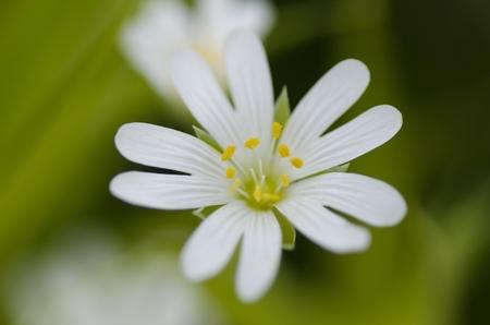 Field mouse ear flower Standard-Bild - 106357603