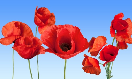 Red Poppies on blue background Stock Photo