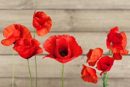 Red Poppies (XXL )