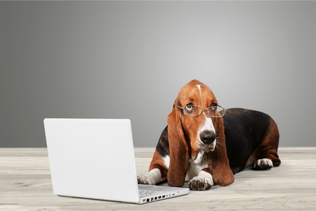 Basset Hound dog with laptop on background
