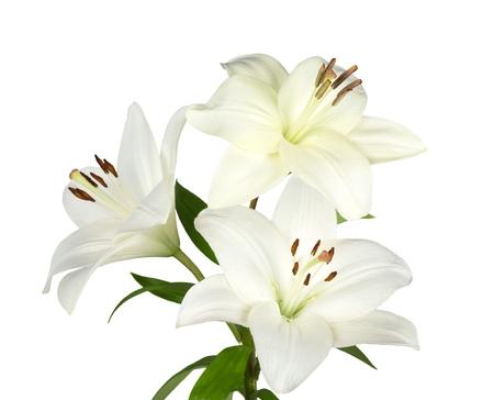 weiße Lilienblume Standard-Bild