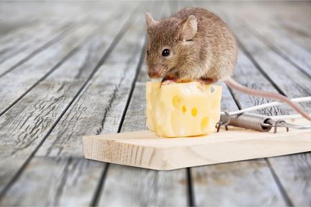 Trampa para ratones con queso y ratón en el fondo Foto de archivo