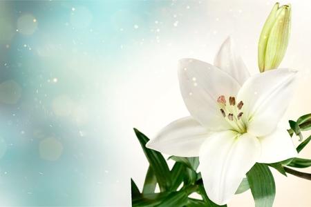 Fiore di giglio sullo sfondo scuro