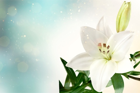 Flor de lirio en el fondo oscuro