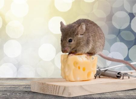 Piège à souris avec fromage et souris sur