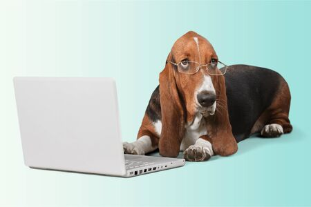 Basset Hound Using a Laptop Computer and Wearing Glasses Stock Photo
