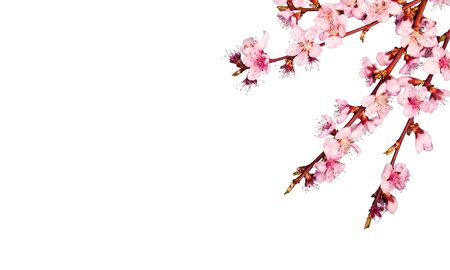 Cherry blossom isolated in front of white background          - Image