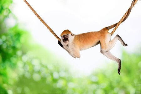 Bebé orangután balanceándose en la cuerda en una pose divertida aislado sobre fondo blanco.