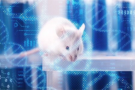 White laboratory rat isolated on blue background 스톡 콘텐츠