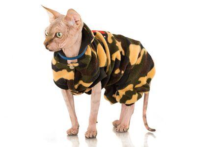 Sphynx Cat Wearing Sweater