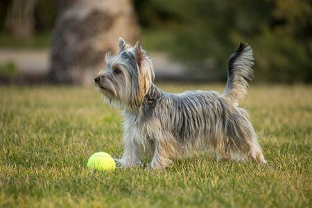 Yorkshire Terrier Standing on the Lawn with Tennis Ball