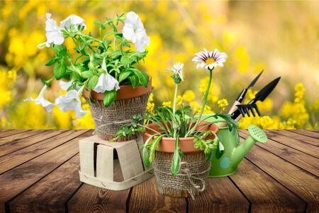 Belle primevère rose dans des pots de fleurs et des outils de jardinage, isolé sur blanc