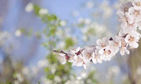 Blooming cherry flowers for background Reklamní fotografie