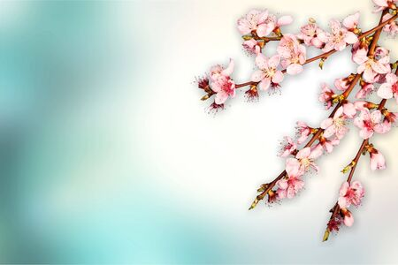 Sprigs of cherry blossoms on a pastel background Stock fotó