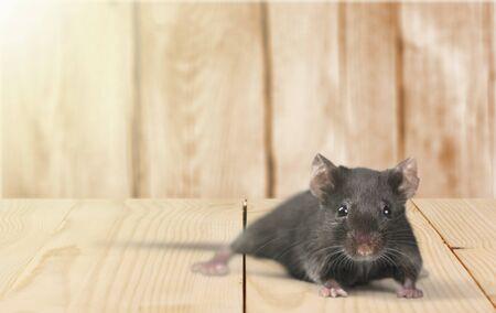 Animal souris grise sur fond