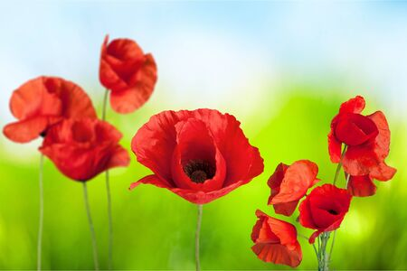 Red Poppies on bokeh background Stock Photo