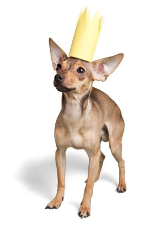 Chihuahua Wearing a Paper Crown