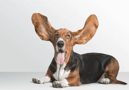 Cute Basset Hound dog on white background