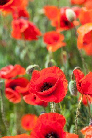Red poppy flowers in a field Zdjęcie Seryjne - 130159383