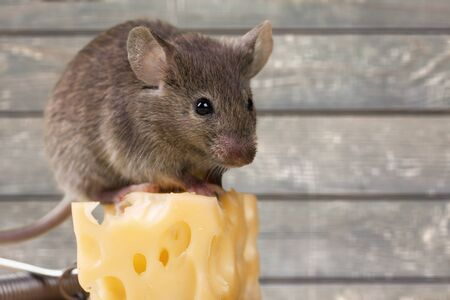 Gray mouse animal  and cheese on wooden table