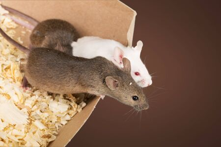 Small experimental mouse in a box Фото со стока