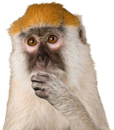 Primer plano de mono comiendo - aislado Foto de archivo