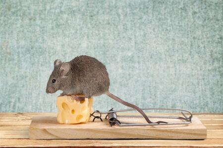 Ratón comiendo queso de la trampa Foto de archivo