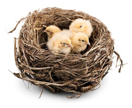 Pollos bebé en el nido