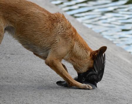 動物の狩猟犬攻撃鳩の餌食 の写真素材・画像素材 Image 22647294.