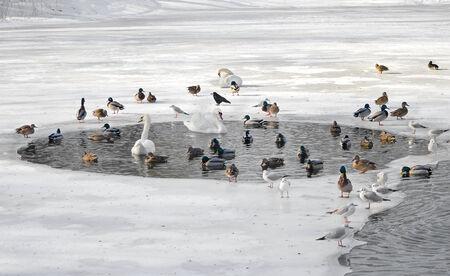 Birds in winter  Swans, gulls, ducks swim in a partly frozen lake photo